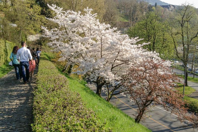 住民の目を楽しませてくれる、ベルン、バラ公園のソメイヨシノ